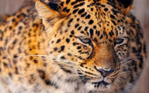 зверь, леопард, хищник