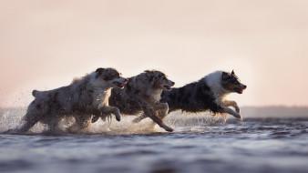 собаки, вода, бег