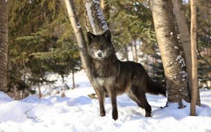 волк, зима, снег, лес
