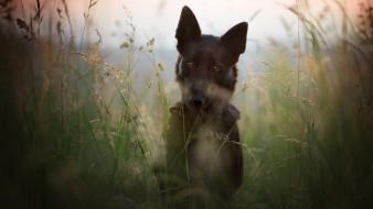 природа, черная, пёс, овчарка, немецкая овчарка, печальный взгляд, немецкая, былинки, лето, собака, трава, стебли, портрет, поле, луг