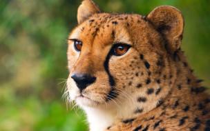 гепард, голова, взгляд