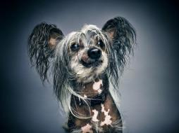 портрет, собака, морда, лохматая, Китайская хохлатая собака, фон