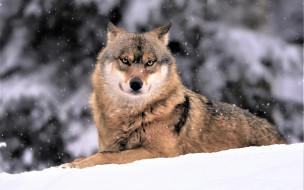 зима, снег, волк
