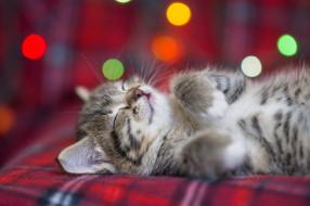 Eygenei Eg, боке, спит, пушистый, котенок