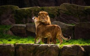 пара, ласка, самка, подчинение, самец, поза, красавцы, твердость характера, камни, скалы, семья, дикие кошки, мужик, лев, львы