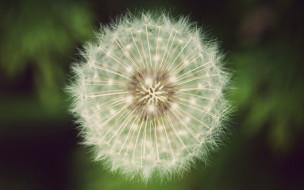 семена, одуванчик