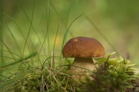 природа, грибы, боровик, гриб, трава