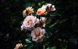 цветы, розы, куст
