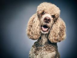 морда, фон, взгляд, портрет, собака, Пудель