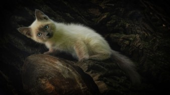 удивление, котенок, сиамский кот, домашний питомец, взгляд, природа