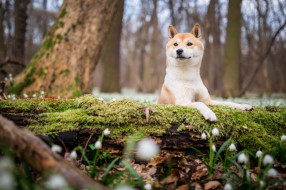 мох, собака, сиба-ину, сиба, поляна, лес, природа, дерево, фон, парк, подснежники, весна, щенок, бревно, взгляд