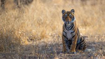 тигренок, молодой, трава, взгляд, лапы, сидит, дикая кошка, природа, тигр, поза, фон