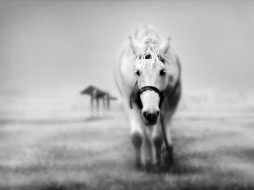 животные, лошади, туман, поле, белая, лошадь
