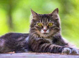 животные, коты, лежит, портрет, трава, взгляд, кот, кошка