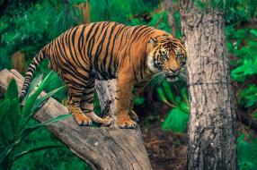животные, тигры, хищник