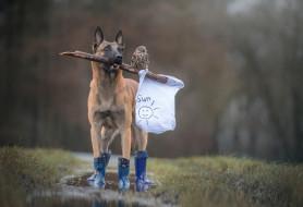 животные, собаки, ненастье, флаг, лужа, майка, сапоги, собака, палка, рисунок, птица, белый, лес, солнышко, друзья, дружба, сова, дождь, трава, бельгийская, овчарка