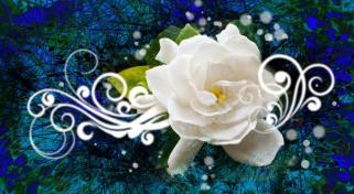 узор, цветок, белая, роза