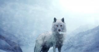 волк, фон, взгляд