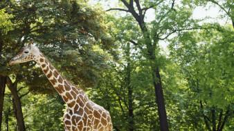 животные, жирафы, деревья, жираф