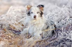 животные, собаки, взгляд, трава, природа, снег, иней, аусси, лежит, австралийская, овчарка, собака, зима, портрет