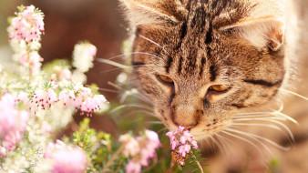 животные, коты, вереск, нюхает, полосатый, фон, серый, природа, цветы, морда, кот, кошка, насекомое, оса, настроение