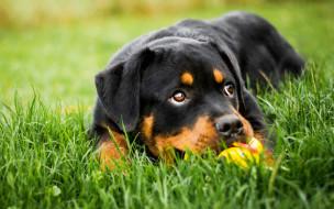 животные, собаки, выразительный, ротвейлер, лежит, щенок, собака, портрет, игра, игрушка, поляна, черный, друг, фон, природа, морда, взгляд, глаза, трава, зелень