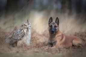 животные, разные вместе, фон, бельгийская, овчарка, природа, осень, лес, трава, парочка, дружба, собака, птица, сова, филин
