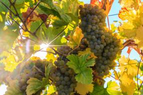 природа, Ягоды,  виноград, простор