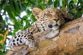 животные, леопарды, хищник