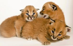 животные, рыси, каракалы, рысята, котята, детеныши
