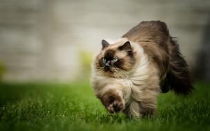 животные, коты, домашние, прыжок, зеленая, трава, пушистый, коричневый, сиамский, кот