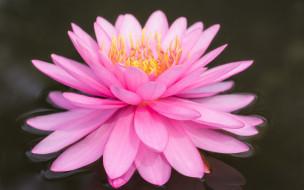 розовая, вода, цветок, лилия