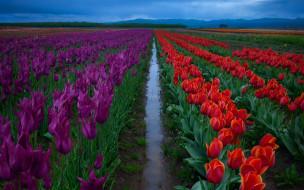 фиолетовые, цветы, после дождя, межа, поле, небо, вода, тюльпаны, красные, ряды, плантация