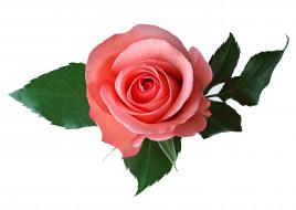 роза, розовая, листья