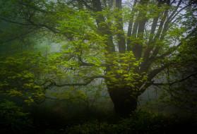 дерево, дымка, природа, лес