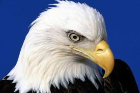 орел, голова