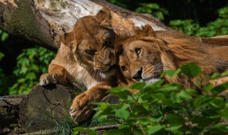 природа, поза, уют, лев, нежность, пара, любовь, свет, листья, самец, самка, лежат, морда, взгляд, глаза