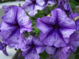 цветы, петунии,  калибрахоа, петуния