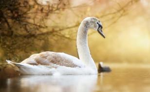 природа, озеро, лебедь