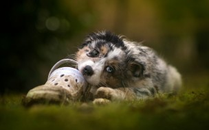 природа, аусси, лежит, щенок, собака, австралийская овчарка, грызет обувь