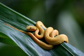 ядовитый, змея, островной, жёлтый, Ботропс