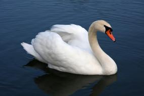 шипун, Лебедь