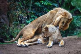 совокупление, секс, лежа, позиция, способ, два льва, листья, поза, природа, растения, лежит, лев, пара, дикие кошки, львица