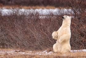 белый медведь, Canada, Канада, медведь, кусты, стойка, полярный медведь, Manitoba, Манитоба