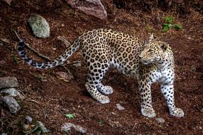 хищник, леопард, animal