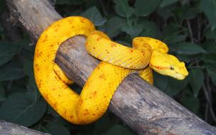 Ботропс, островной, жёлтый, змея, ядовитый