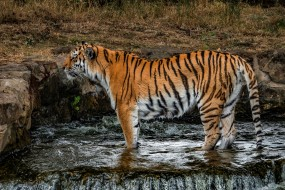 водопад, кошка, лапы, стоит, трава, природа, камни, поза, мокрый, тигр