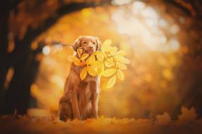 Новошотландский ретривер, боке, ветка, собака, листья, осень