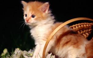 цветы, корзина, рыжий, котенок