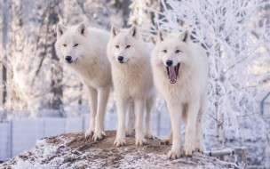 волк, природа, деревья, полярные, снег, иней, зима, зоопарк, трое, белые, три, волки